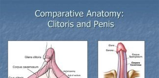 Clitoris and penis comparative anatomy diagram