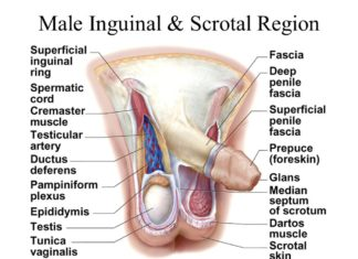 Male inguinal and scrotal region anatomy