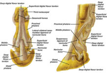 Horse foot anatomical structure