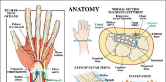 Wrist sectional anatomy