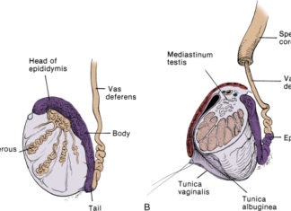 Testis external view and sectional view