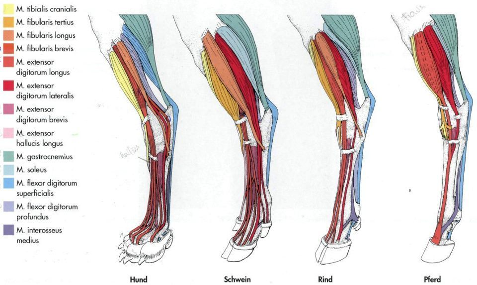Different types of animals legs foot muscles anatomy