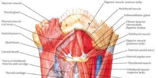 Sternohyoid muscle, sternothyroid muscle, and scalene muscles