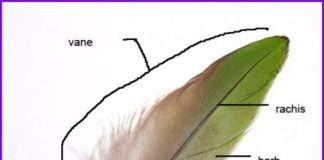 Feather anatomical structure