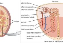 Nephron and urine flow to renal papilla and ureter diagram