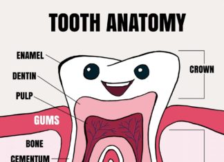 Tooth anatomy for kids