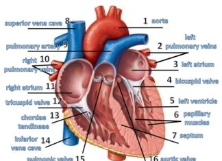 Mitral valve and tricuspit valve anatomy