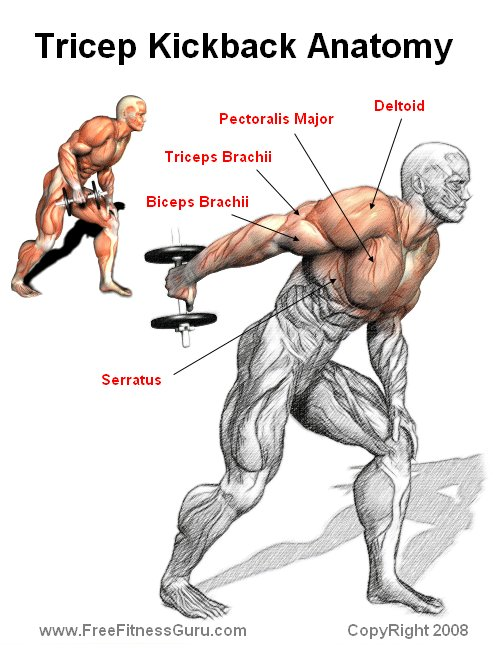 Tricep kickback anatomy diagram