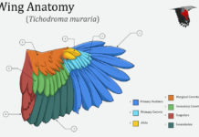 Wing anatomy Tichodroma muraria diagram