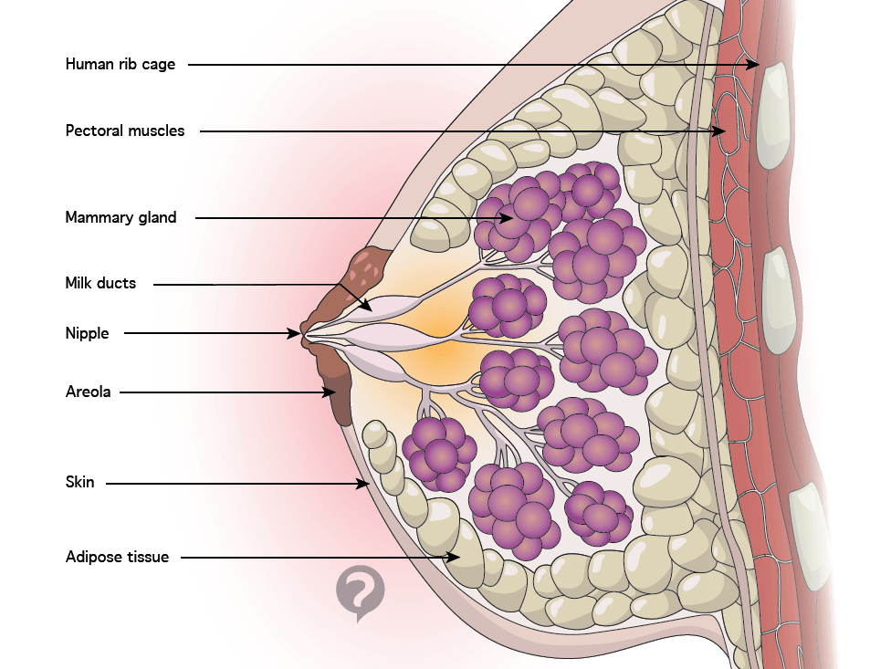 Pectoral muscles, mammary gland, milk duct anatomy