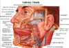 Salivary gland anatomy in detail