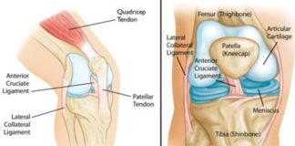 Patella, lateral collateral ligament, anterior cruciate ligament anatomy