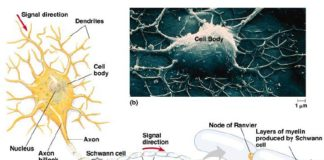 Neuron anatomy in detail and microscope view