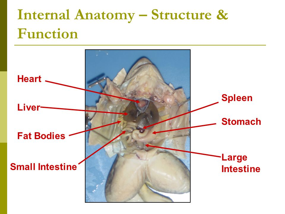 Internal anatomy - structure and function of frog