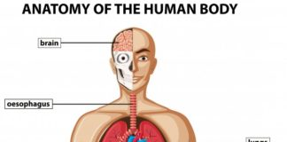 Anatomy of the human body gross view
