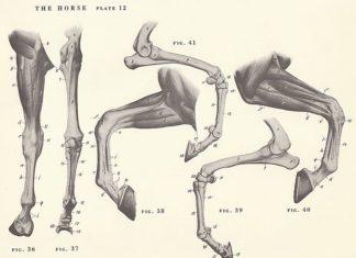 Horse leg muscles and skeleton structure diagram