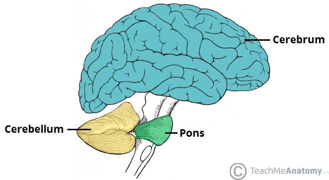 Cerebellum and pons anatomy
