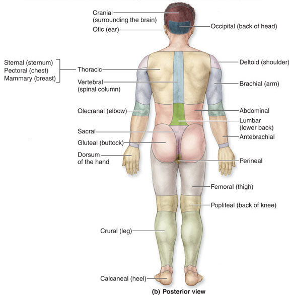 Posterior view of human body anatomical landmark