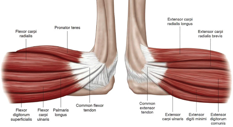 Pronator teres muscle anatomy