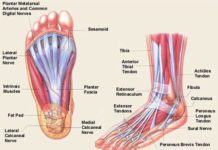 Sesamoid, intrinsic muscle of the foot