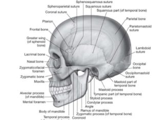 Pterion of the skull anatomy