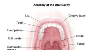 Tonsil and uvula location in the oral cavity