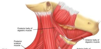 Neck muscles scalene muscle and digastric muscle anatomy
