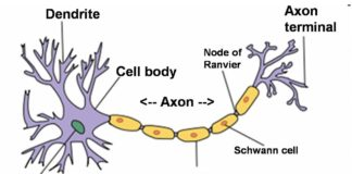 The node of Ranvier, Schwann cell anatomy