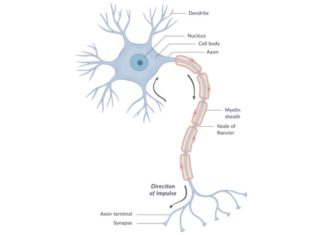 Myelin sheath and node of Ranvier structure