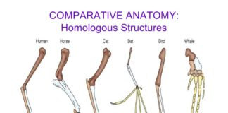 Comparative anatomy of homologous structures