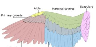 Wing anatomy anterior view