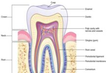 Tooth gingiva anatomy