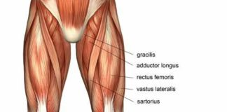 Gastrocnemius calf muscle anatomy