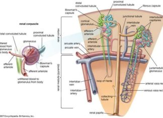 Renal corpuscle and nephron anatomy in detail