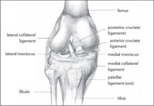 Meniscus anatomy diagram