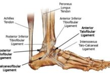 Talofibular ligament anatomy