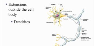 Neuronal Cell Anatomy in detail