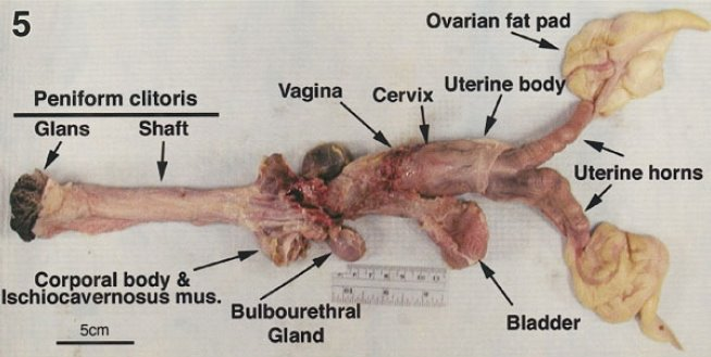 Female reproductive system dissection anatomy