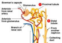 Nephron anatomy with labeled