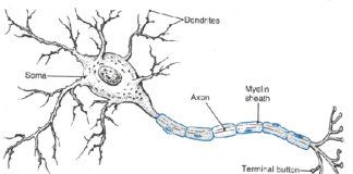 Soma, dendrites, and axon anatomy