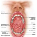 Opening mouth anatomy in detail