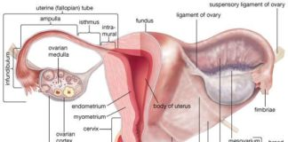 Cervix, and infundibulum anatomy
