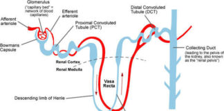 Loop of henle anatomy