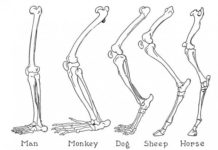 Man, monkey, dog, sheep, horse extremity bone diagram