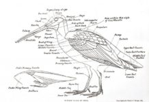 Bird anatomical view