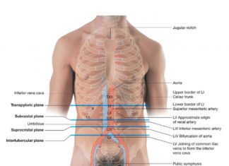 Surface anatomy of abdominal organs and ribcage of the human body
