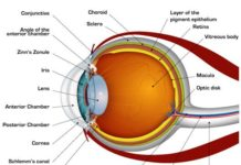 Anterior chamber and posterior chamber in the eye