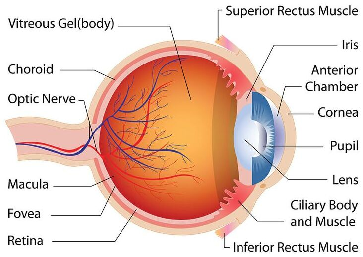 Optic nerve in the eye