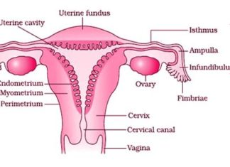 Cervix and vagina in woman reproductive system diagram