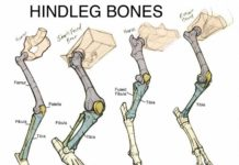 Different type of animal hindleg bone diagram